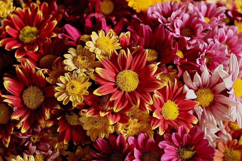 Výsledok vyhľadávania obrázkov pre dopyt chryzantémy na hroby